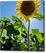 Sunflower With Sun Acrylic Print by Donna Doherty
