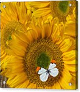 Sunflower With White Butterfly Acrylic Print