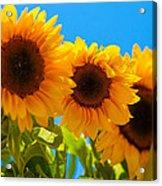 Sunflowers 3 Acrylic Print