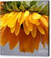 Sunflowers 6 Acrylic Print