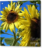 Sunflowers Abound Acrylic Print