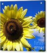Sunflowers Against A Blue Sky Acrylic Print