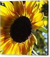 Sunflowers Alive And Free Acrylic Print