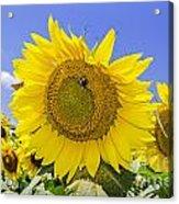 Sunflowers And Blue Sky Acrylic Print