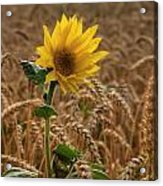 Sunflowers At Corny Acrylic Print