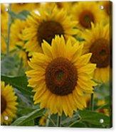 Sunflowers At The Farm Acrylic Print