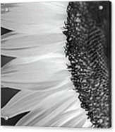 Sunflowers Beauty Black And White Acrylic Print