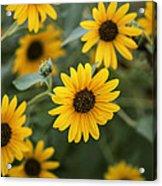 Sunflowers Bloom Acrylic Print