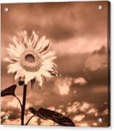 Sunflowers Acrylic Print by Bob Orsillo