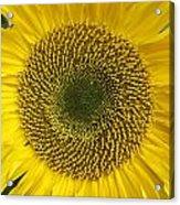 Sunflower's Cluster Acrylic Print