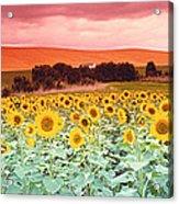 Sunflowers, Corbada, Spain Acrylic Print