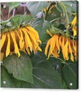 Sunflowers Faded Bloom Series - Image--sfwbix Acrylic Print