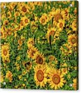 Sunflowers Helianthus Annuus Growing Acrylic Print