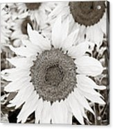Sunflowers In Back And White Acrylic Print