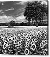 Sunflowers In Black And White Acrylic Print