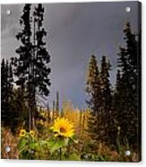 Sunflowers In Northern Garden In Fall Acrylic Print