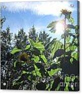 Sunflowers In Sunshine Acrylic Print by Elizabeth Stedman