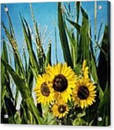 Sunflowers In The Corn Field Acrylic Print