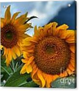 Sunflowers In The Wind Acrylic Print