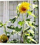 Sunflowers In The Window Acrylic Print