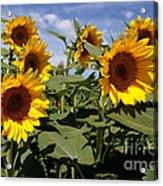 Sunflowers Acrylic Print by Kerri Mortenson