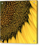 Sunflowers Of Summer Acrylic Print