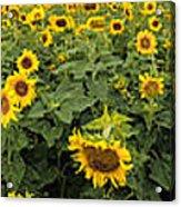Sunflowers Panorama Acrylic Print