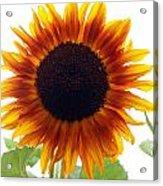 Sunflowers Petals Of Light Acrylic Print