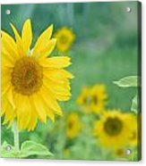 Sunflowers Vintage Dreams Acrylic Print