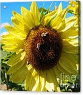 Sunflowers With Bees Harvesting Pollen Acrylic Print