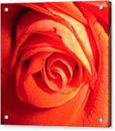 Sunkissed Orange Rose 11 Acrylic Print