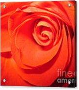 Sunkissed Orange Rose 9 Acrylic Print