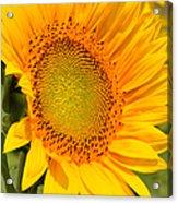 Sunkissed Sunflower Acrylic Print