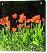 Sunkissed Tulip Garden Acrylic Print