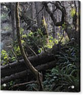 Sunlight Filtering Through An Old-growth Forest Acrylic Print
