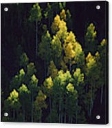Sunlight Highlights Aspen Trees Acrylic Print