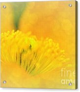 Sunlight On Poppy Abstract Acrylic Print