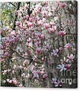 Sunlight On Saucer Magnolias Acrylic Print