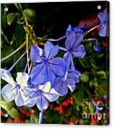 Sunlight On The Blues Acrylic Print