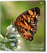 Sunlight Through Butterfly Wings Acrylic Print