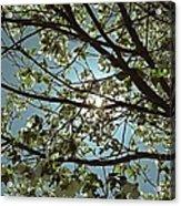 Sunlight Through The Dogwood Acrylic Print