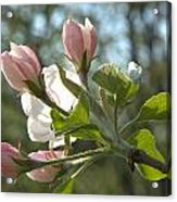 Sunlit Apple Blossoms Acrylic Print