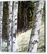 Sunlit Aspens Davis Creek Montana Acrylic Print