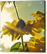 Sunlit Daisies Acrylic Print