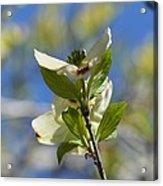 Sunlit Dogwood Blossoms Acrylic Print