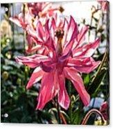 Sunlit Fancy Pink Columbine Acrylic Print