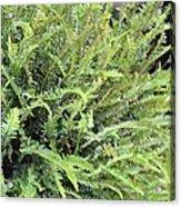 Sunlit Ferns Acrylic Print