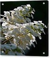 Sunlit Hydrangeas Acrylic Print
