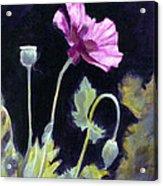 Sunlit - Icelandic Poppy Acrylic Print