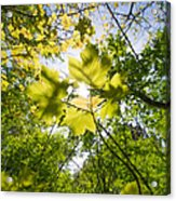 Sunlit Leaves Acrylic Print